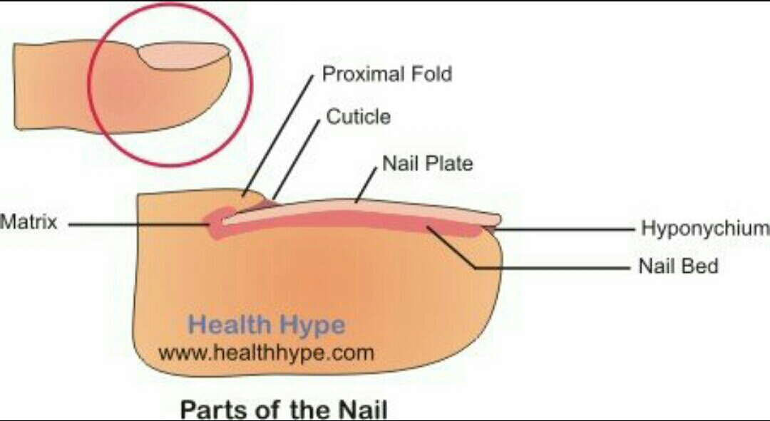 Parts of the nail english for life ccuart Choice Image